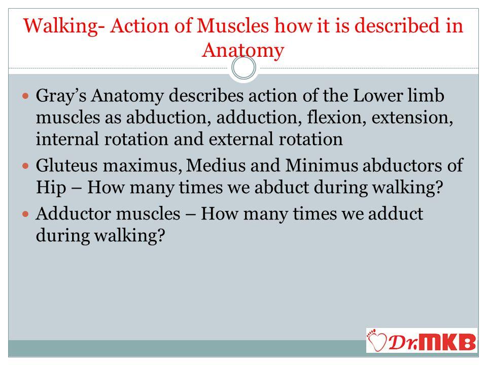 Walking how it is described in Anatomy Plantar flexion – gastro soleus plantar flexes the ankle but in reality plantar flexion is a passive phenomenon.