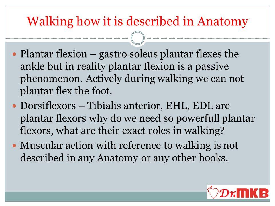 3.A Stabilisation at the Hip Obturator Internus, Obturator externus, Gamelli, Piriformis muscles stabilise the Hip during walking.