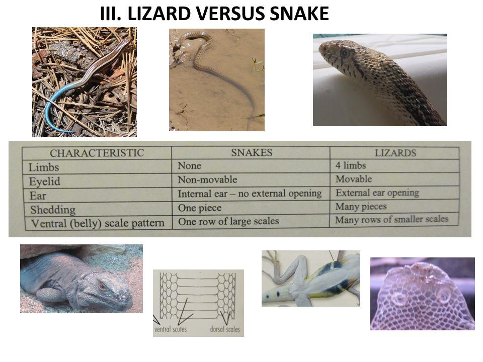 III. LIZARD VERSUS SNAKE