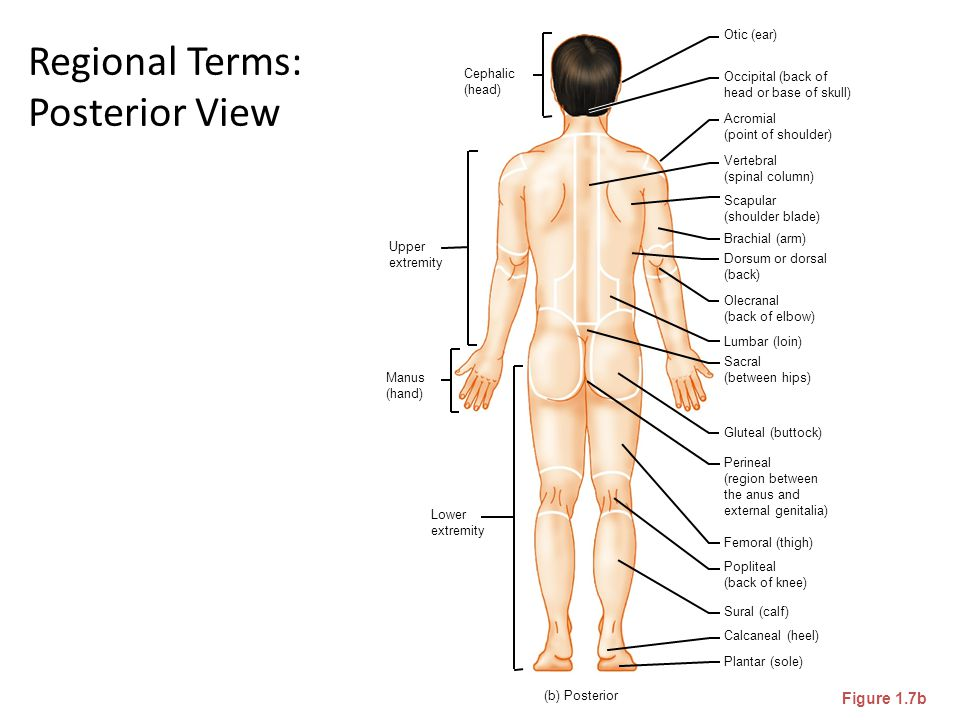 Regional Terms: Posterior View Figure 1.7b Brachial (arm) Otic (ear) Occipital (back of head or base of skull) Acromial (point of shoulder) Vertebral
