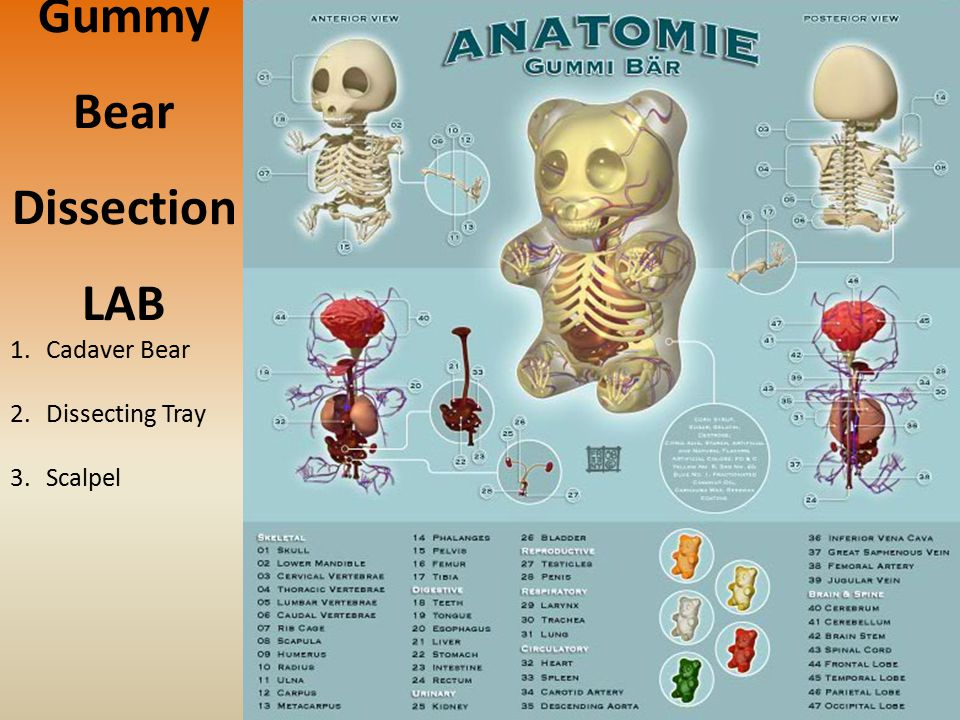 Gummy Bear Dissection LAB 1.Cadaver Bear 2.Dissecting Tray 3.Scalpel