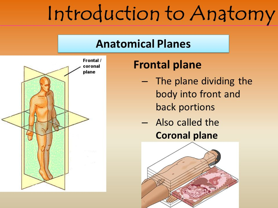 Frontal plane – The plane dividing the body into front and back portions – Also called the Coronal plane Introduction to Anatomy Anatomical Planes