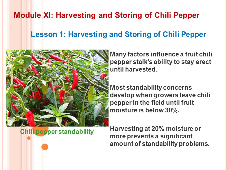 Module XI: Harvesting and Storing of Chili Pepper Lesson 1: Harvesting and Storing of Chili Pepper Many factors influence a fruit chili pepper stalk s ability to stay erect until harvested.