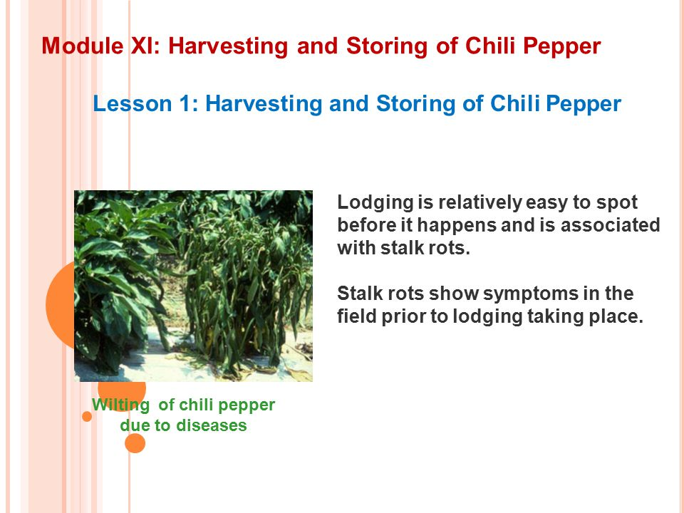 Module XI: Harvesting and Storing of Chili Pepper Lesson 1: Harvesting and Storing of Chili Pepper Wilting of chili pepper due to diseases Lodging is relatively easy to spot before it happens and is associated with stalk rots.