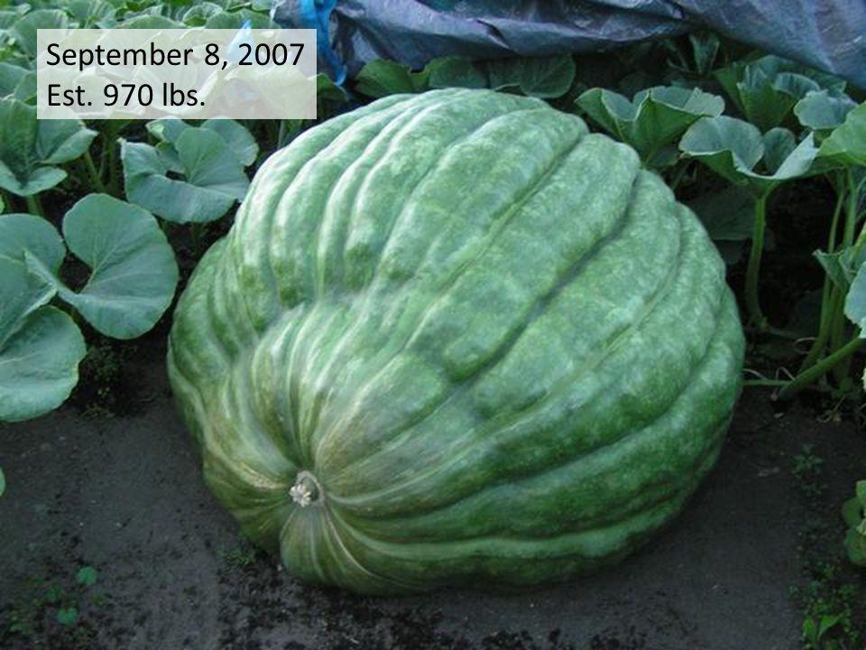 September 8, 2007 Est. 970 lbs.