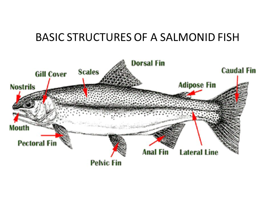 BASIC STRUCTURES OF A SALMONID FISH