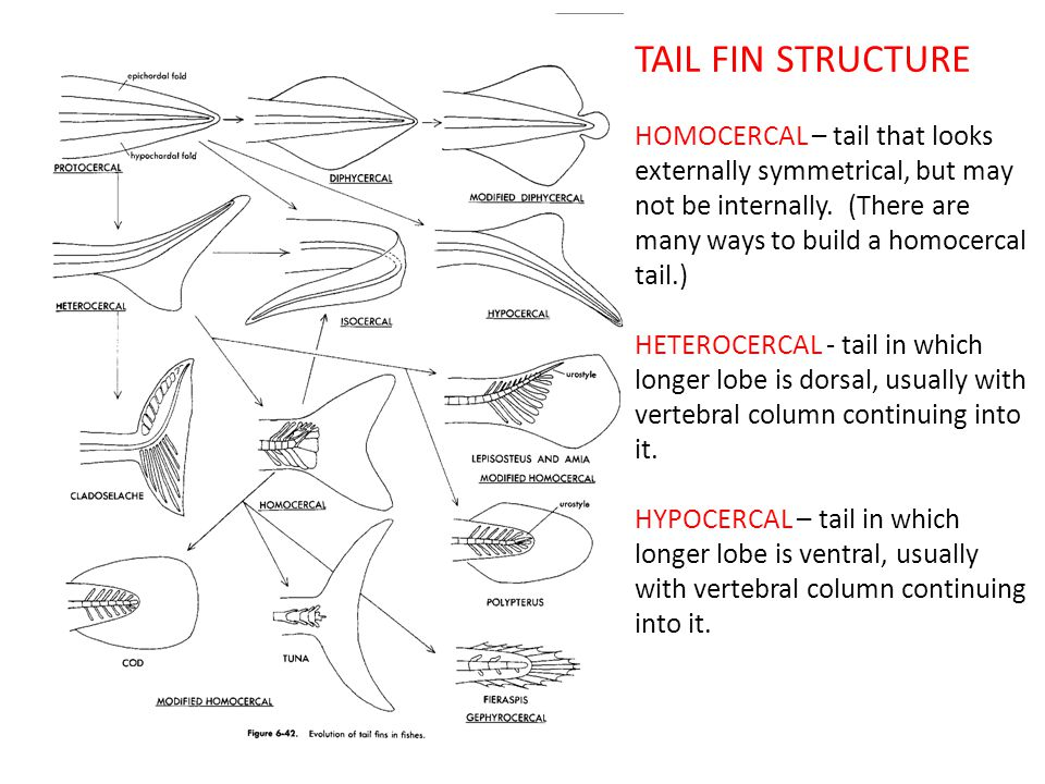 TAIL FIN STRUCTURE HOMOCERCAL – tail that looks externally symmetrical, but may not be internally.