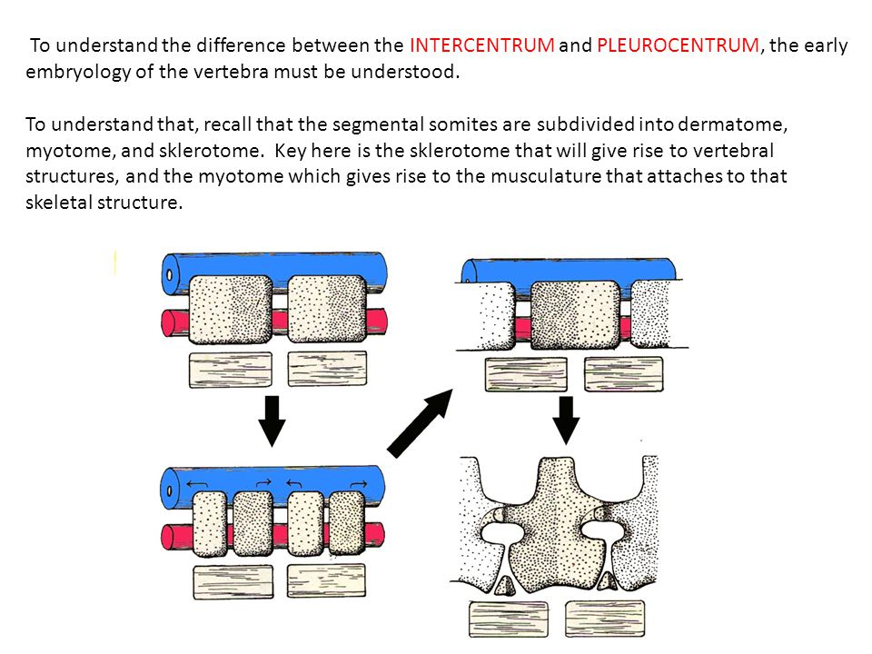 To understand the difference between the INTERCENTRUM and PLEUROCENTRUM, the early embryology of the vertebra must be understood.