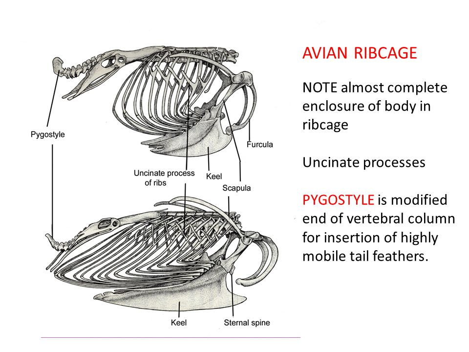 AVIAN RIBCAGE NOTE almost complete enclosure of body in ribcage Uncinate processes PYGOSTYLE is modified end of vertebral column for insertion of highly mobile tail feathers.