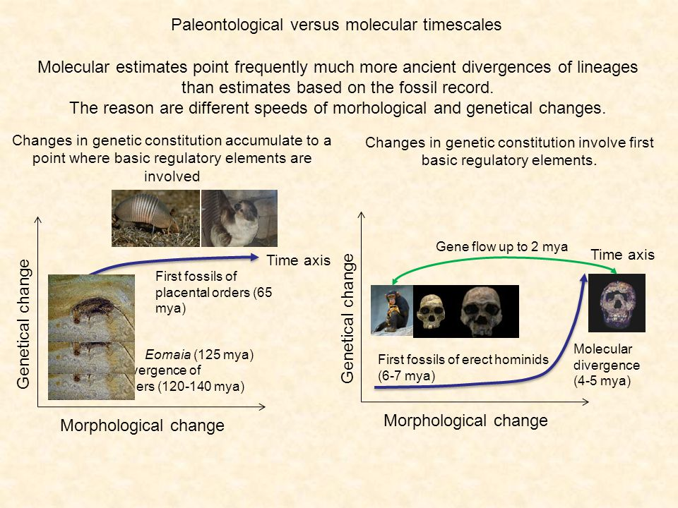 Paleontological versus molecular timescales Morphological change Genetical change Time axis Molecular divergence of placental orders (120-140 mya) First fossils of placental orders (65 mya) Eomaia (125 mya) Morphological change Genetical change Time axis Molecular divergence (4-5 mya) First fossils of erect hominids (6-7 mya) Gene flow up to 2 mya Molecular estimates point frequently much more ancient divergences of lineages than estimates based on the fossil record.