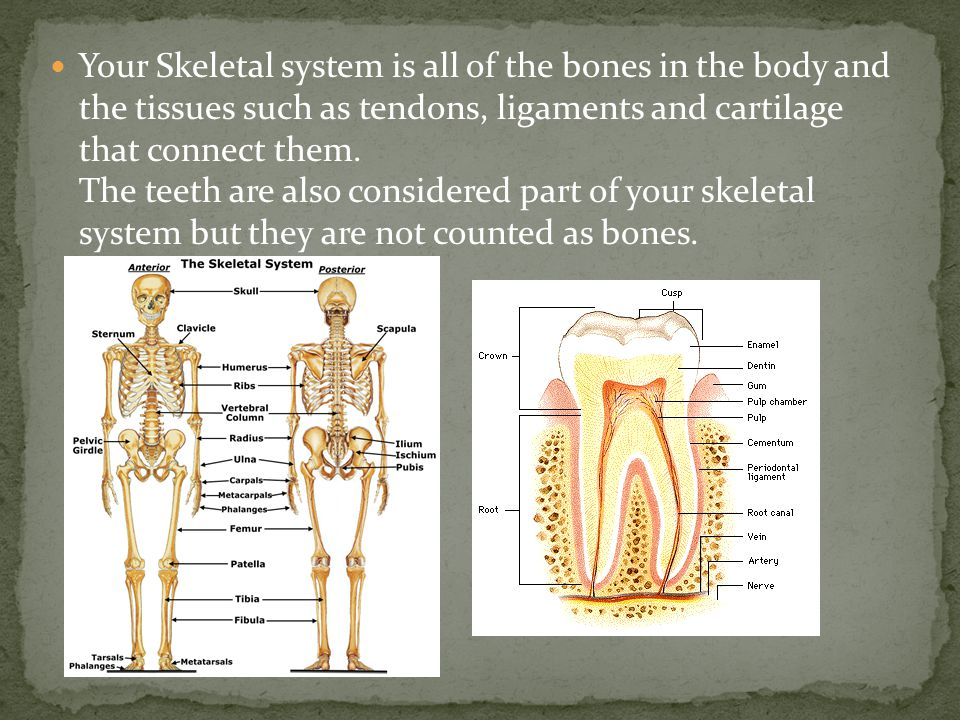 Your Skeletal system is all of the bones in the body and the tissues such as tendons, ligaments and cartilage that connect them.
