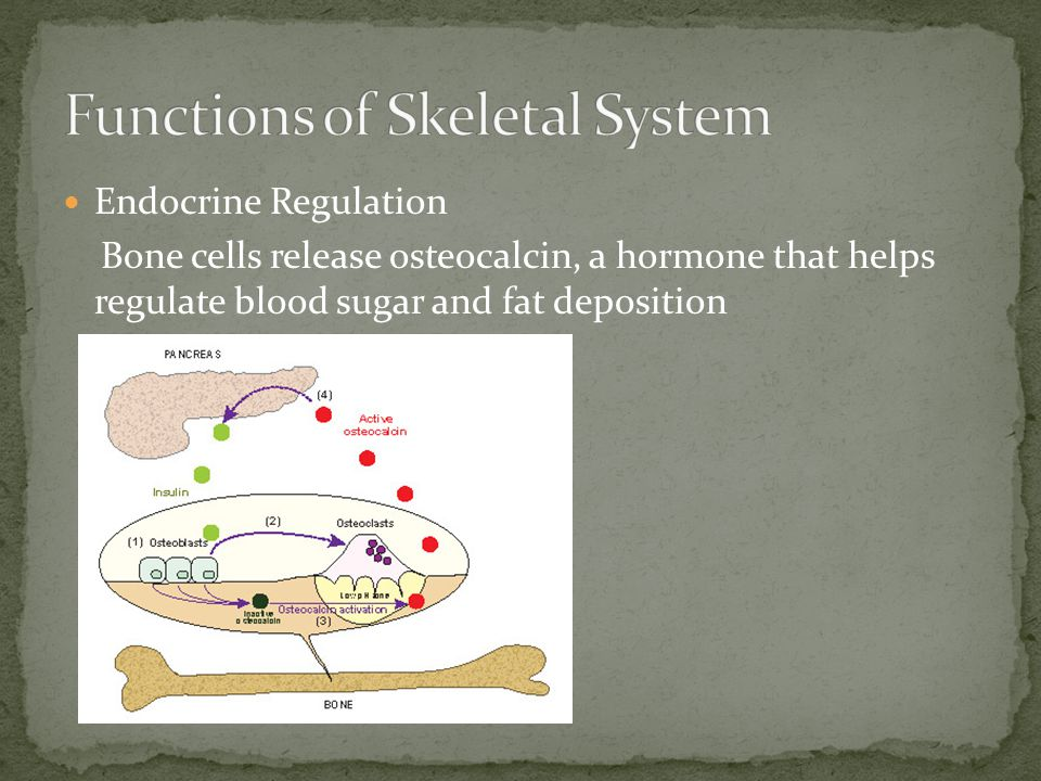 Endocrine Regulation Bone cells release osteocalcin, a hormone that helps regulate blood sugar and fat deposition