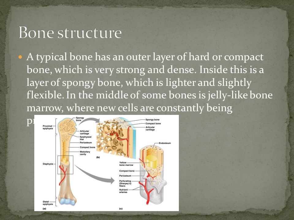 A typical bone has an outer layer of hard or compact bone, which is very strong and dense.