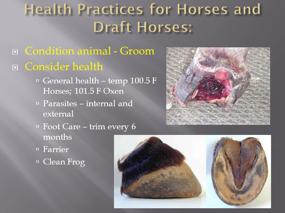  Condition animal - Groom  Consider health  General health – temp 100.5 F Horses; 101.5 F Oxen  Parasites – internal and external  Foot Care – tr