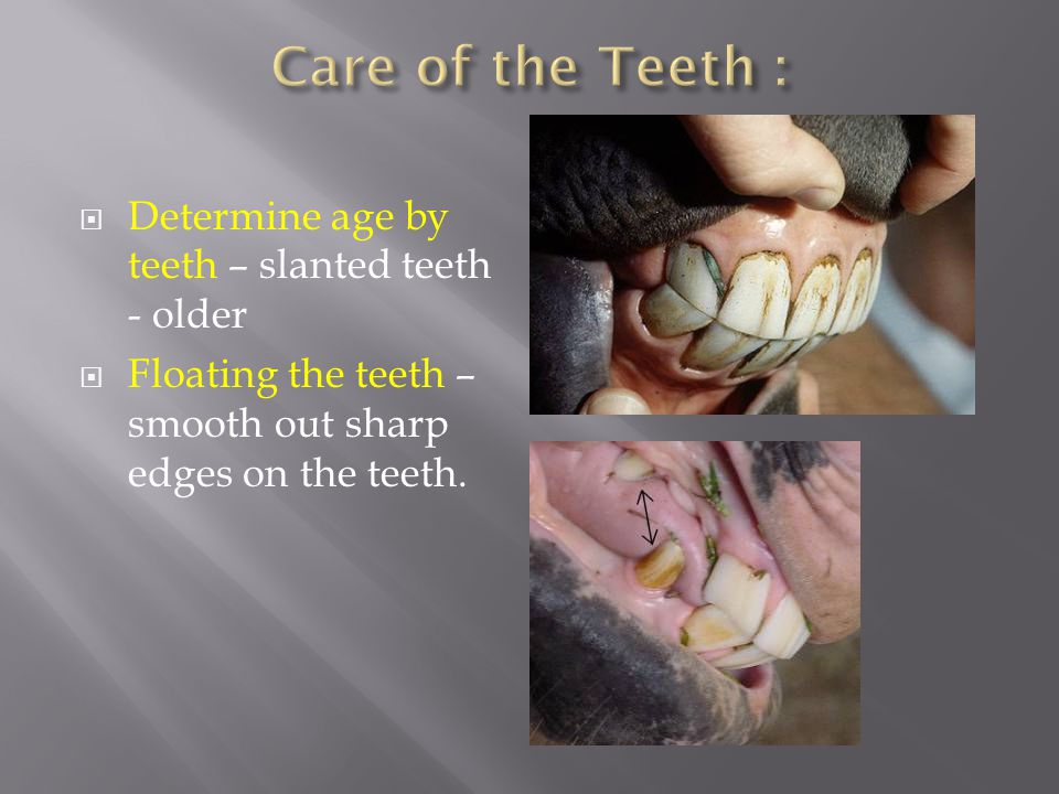  Determine age by teeth – slanted teeth - older  Floating the teeth – smooth out sharp edges on the teeth.