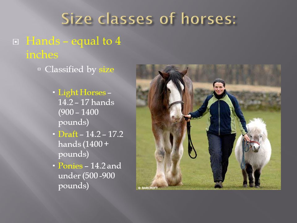  Hands – equal to 4 inches  Classified by size  Light Horses – 14.2 – 17 hands (900 – 1400 pounds)  Draft – 14.2 – 17.2 hands (1400 + pounds)  Ponies – 14.2 and under (500 -900 pounds)