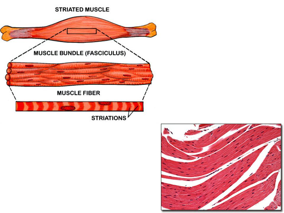 Type 1: Skeletal Muscle Muscles that move your arms and legs These are the ones that you control – they move when you want them to They are attached t