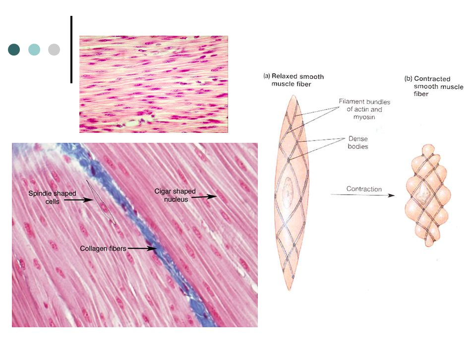 Type 2: Smooth Muscle Often called involuntary muscles because you cannot control them These muscles form the wall of most of the digestive tract; the
