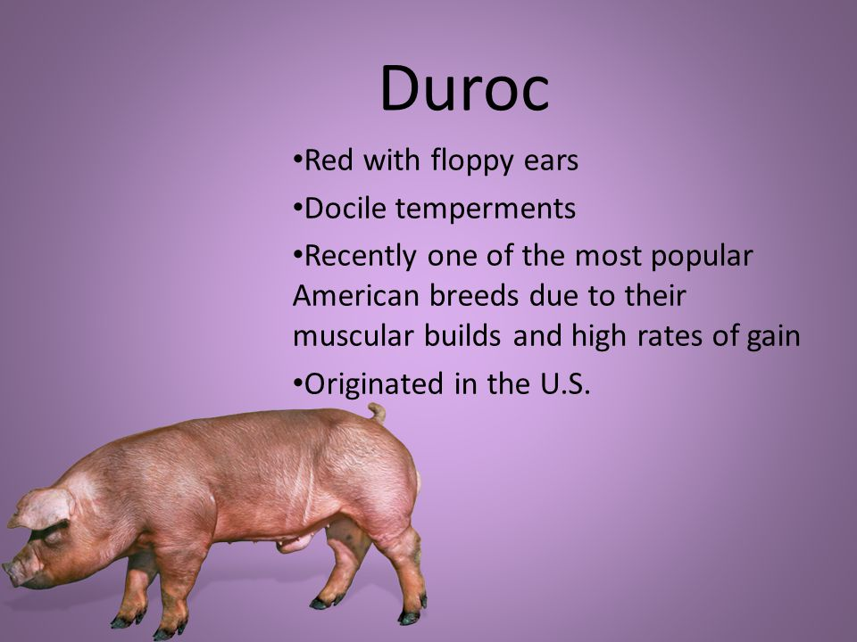 Duroc Red with floppy ears Docile temperments Recently one of the most popular American breeds due to their muscular builds and high rates of gain Originated in the U.S.