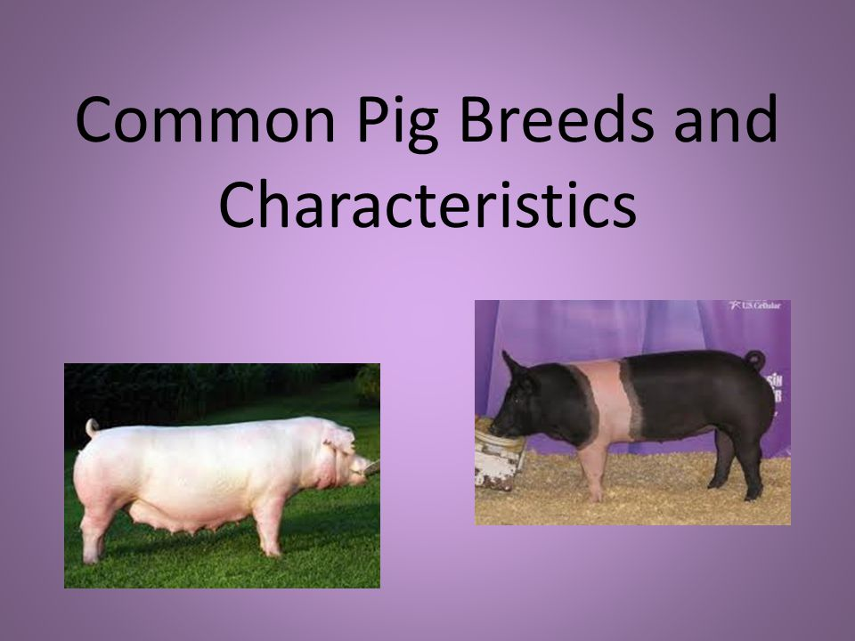 Common Pig Breeds and Characteristics