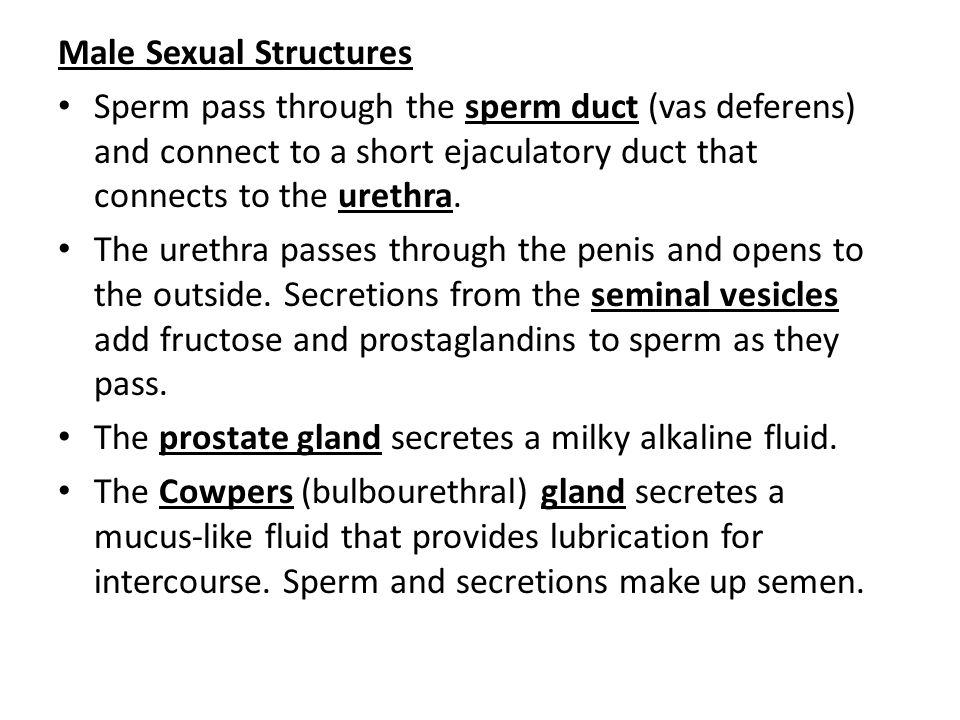 Male Sexual Structures Sperm pass through the sperm duct (vas deferens) and connect to a short ejaculatory duct that connects to the urethra.