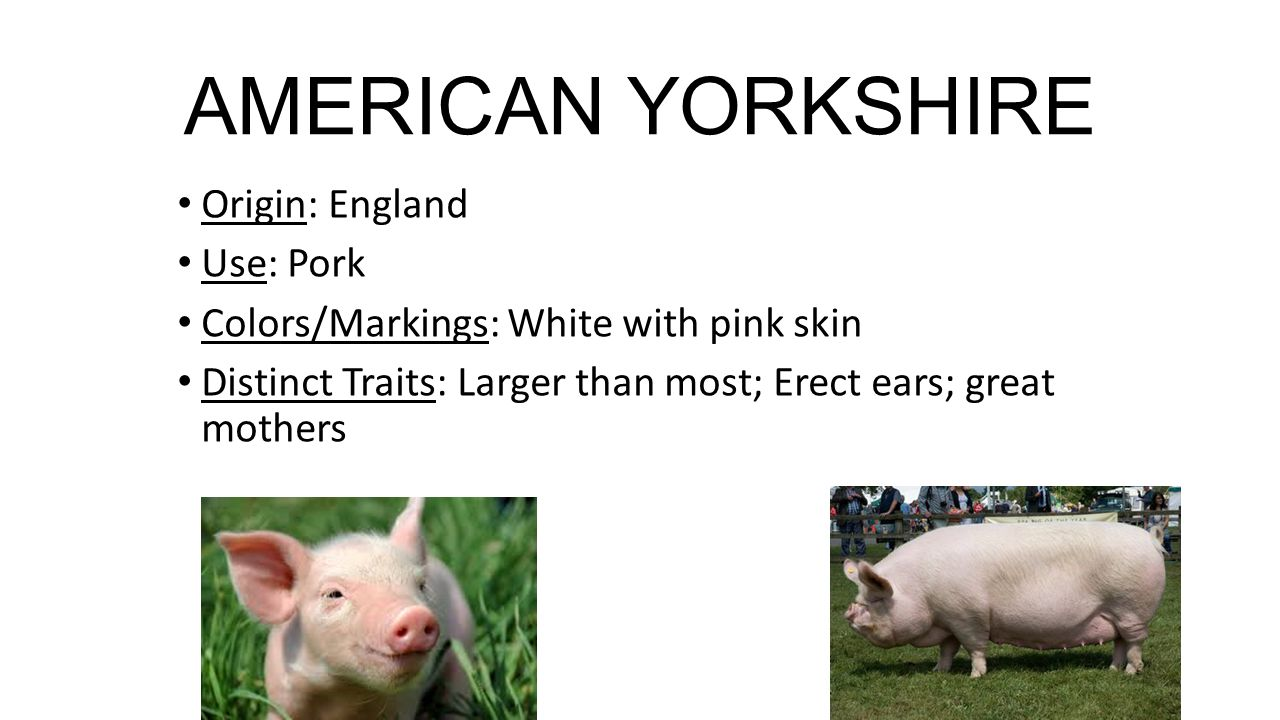 Hampshire Origin: Scotland and Hampshire County in England Use: Original pig for Smithfield Ham Colors/Markings: Black with a white belt (forelimbs & waist) Distinctive Traits: Erect ears