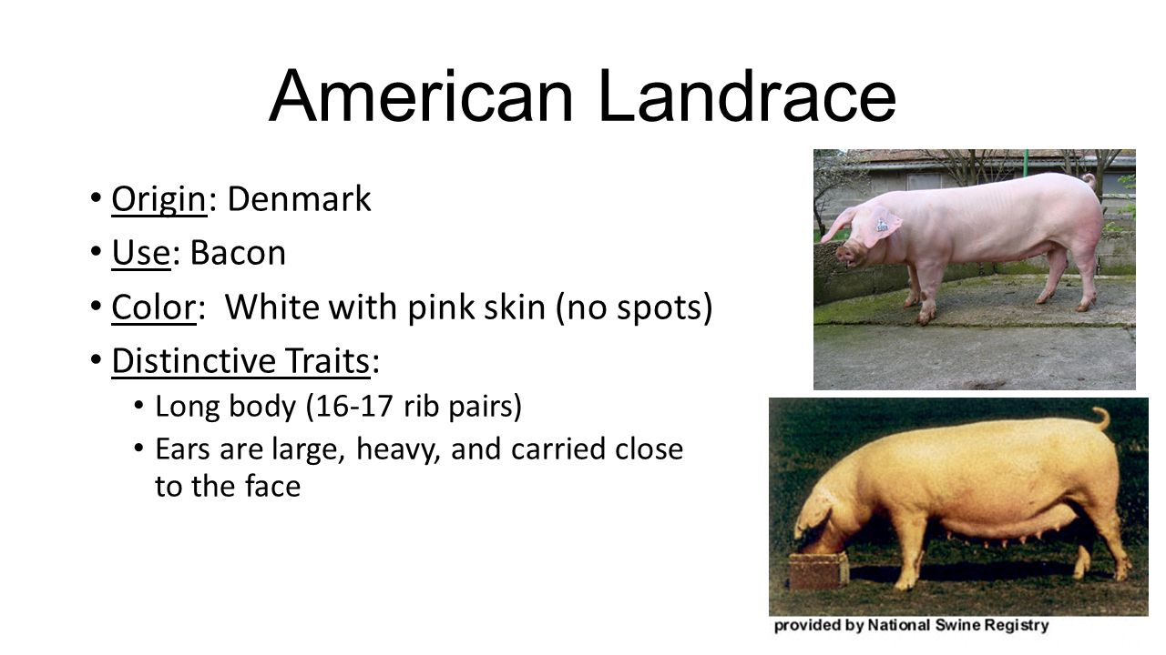 American Landrace Origin: Denmark Use: Bacon Color: White with pink skin (no spots) Distinctive Traits: Long body (16-17 rib pairs) Ears are large, heavy, and carried close to the face