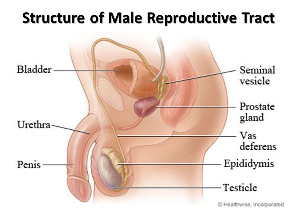Structure of Male Reproductive Tract