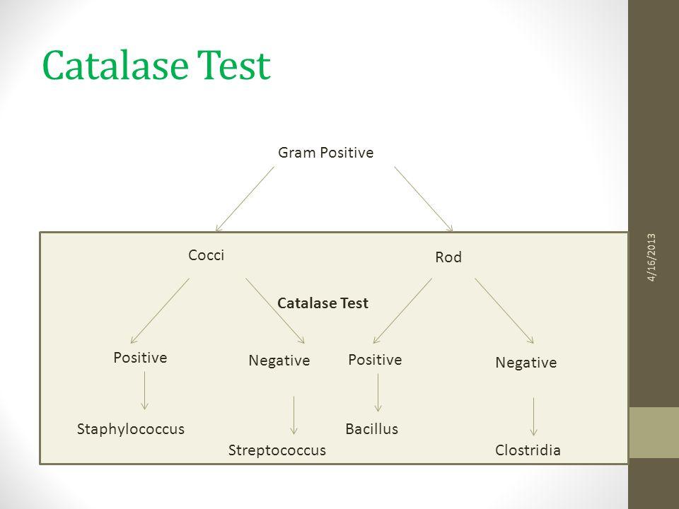 Catalase Test 4/16/2013 Rod Gram Positive Cocci Staphylococcus Catalase Test Positive Negative Clostridia Negative Bacillus Streptococcus