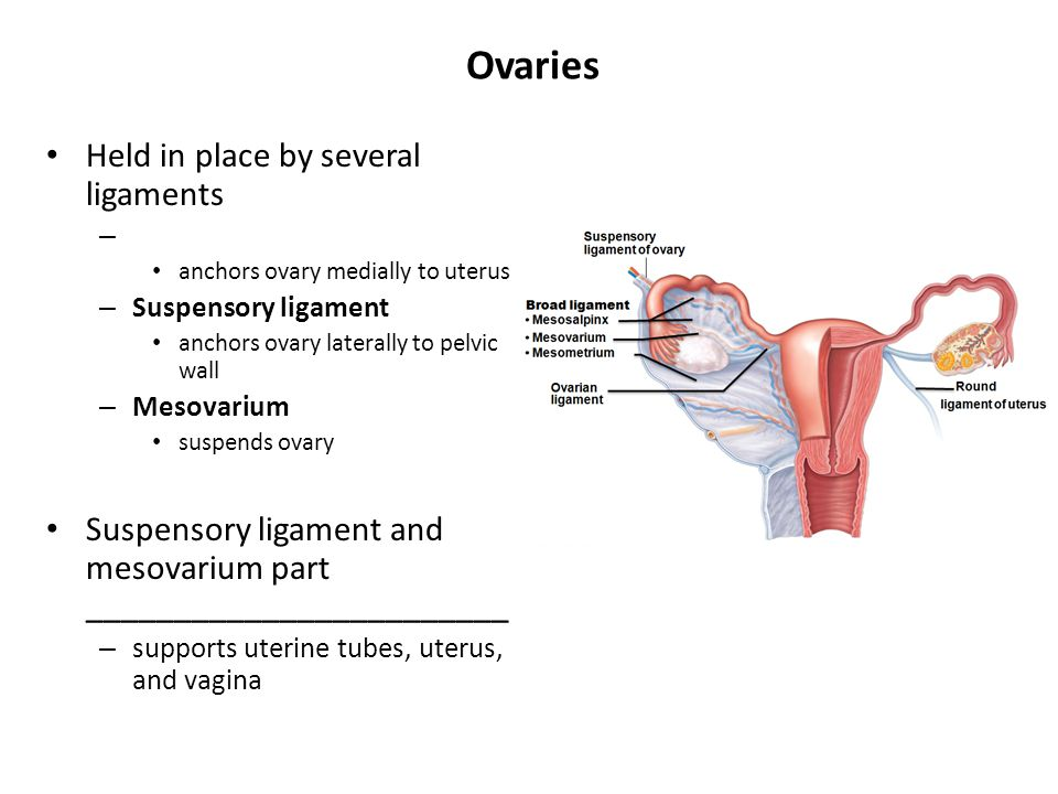 Ovaries Held in place by several ligaments – anchors ovary medially to uterus – Suspensory ligament anchors ovary laterally to pelvic wall – Mesovariu