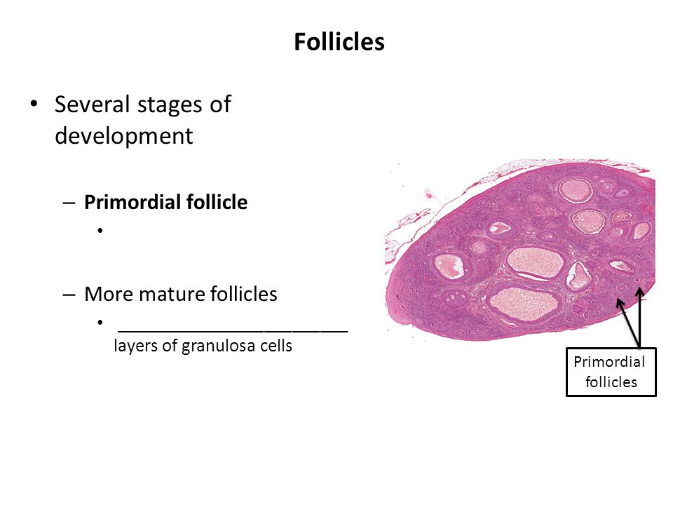 Follicles Several stages of development – Primordial follicle – More mature follicles _________________________ layers of granulosa cells Primordial f