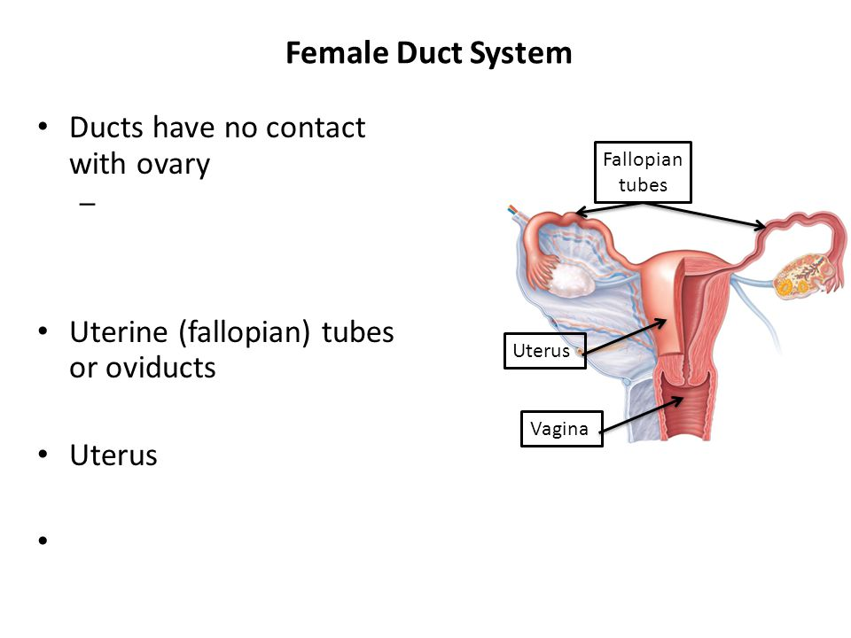 Female Duct System Ducts have no contact with ovary – Uterine (fallopian) tubes or oviducts Uterus Fallopian tubes Uterus Vagina