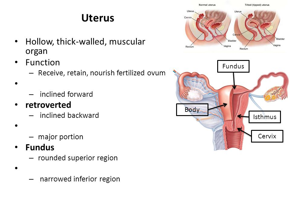 Uterus Hollow, thick-walled, muscular organ Function – Receive, retain, nourish fertilized ovum – inclined forward retroverted – inclined backward – m