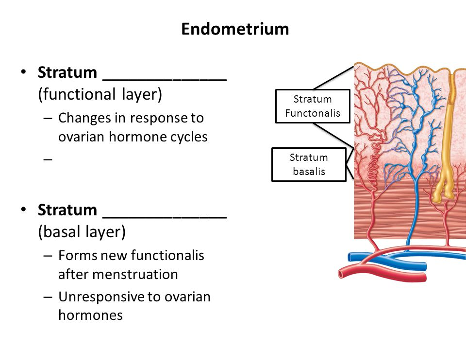 Endometrium Stratum ______________ (functional layer) – Changes in response to ovarian hormone cycles – Stratum ______________ (basal layer) – Forms n