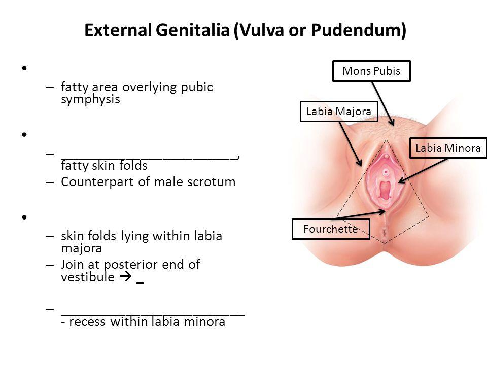 External Genitalia (Vulva or Pudendum) – fatty area overlying pubic symphysis – ________________________, fatty skin folds – Counterpart of male scrot