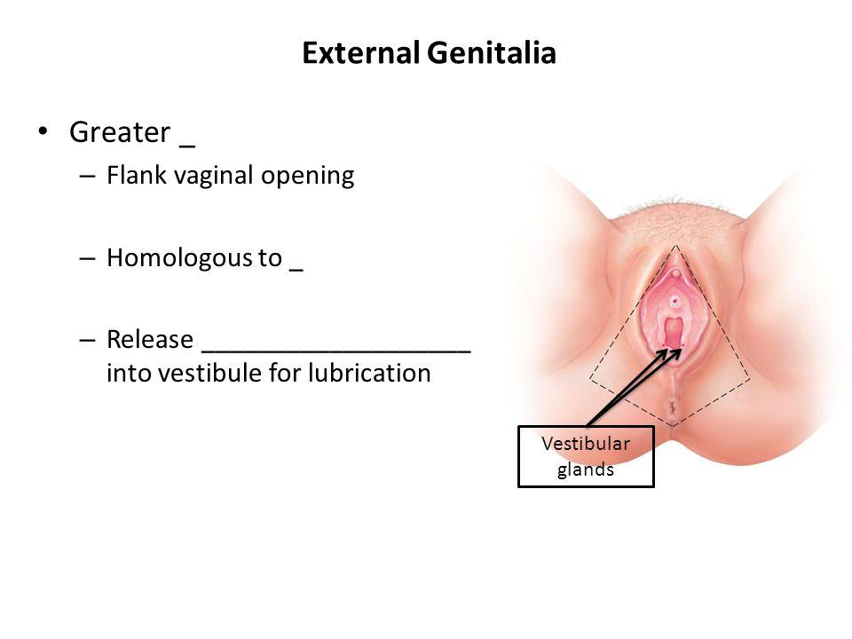 External Genitalia Greater _ – Flank vaginal opening – Homologous to _ – Release ___________________ into vestibule for lubrication Vestibular glands