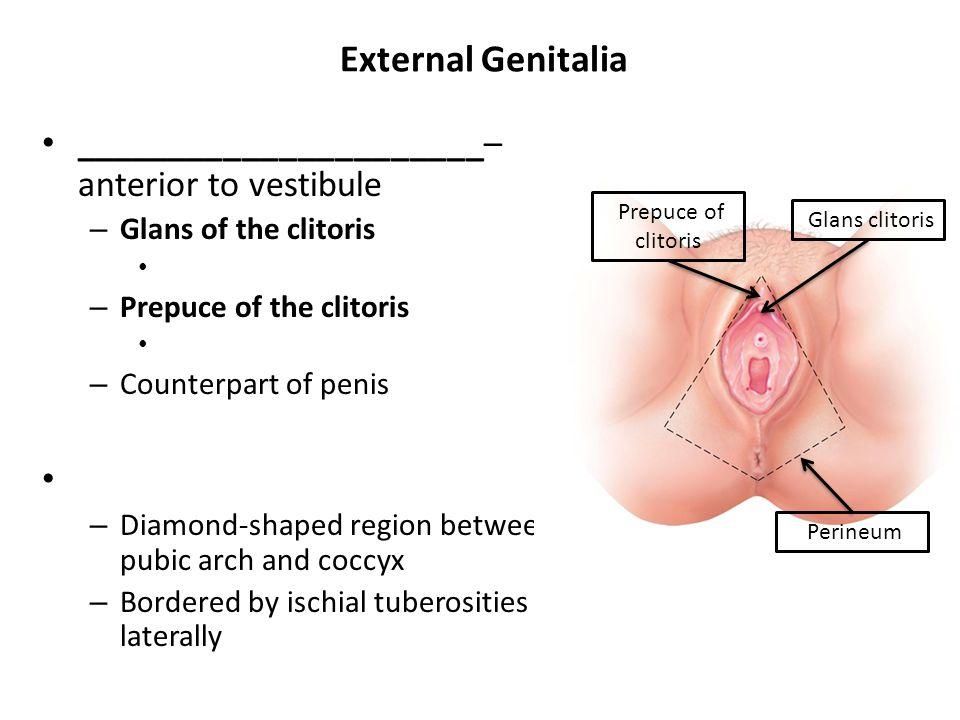 External Genitalia ______________________– anterior to vestibule – Glans of the clitoris – Prepuce of the clitoris – Counterpart of penis – Diamond-sh