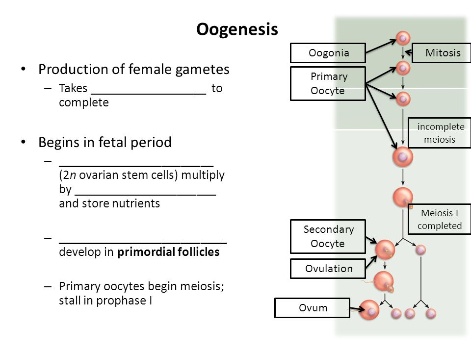 Oogenesis Production of female gametes – Takes __________________ to complete Begins in fetal period – ________________________ (2n ovarian stem cells