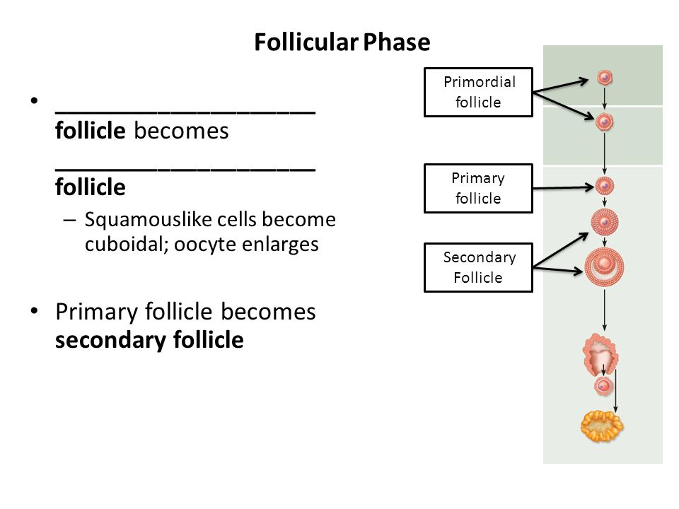 Follicular Phase ____________________ follicle becomes ____________________ follicle – Squamouslike cells become cuboidal; oocyte enlarges Primary fol