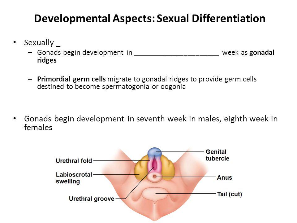 Developmental Aspects: Sexual Differentiation Sexually _ – Gonads begin development in ______________________ week as gonadal ridges – Primordial germ