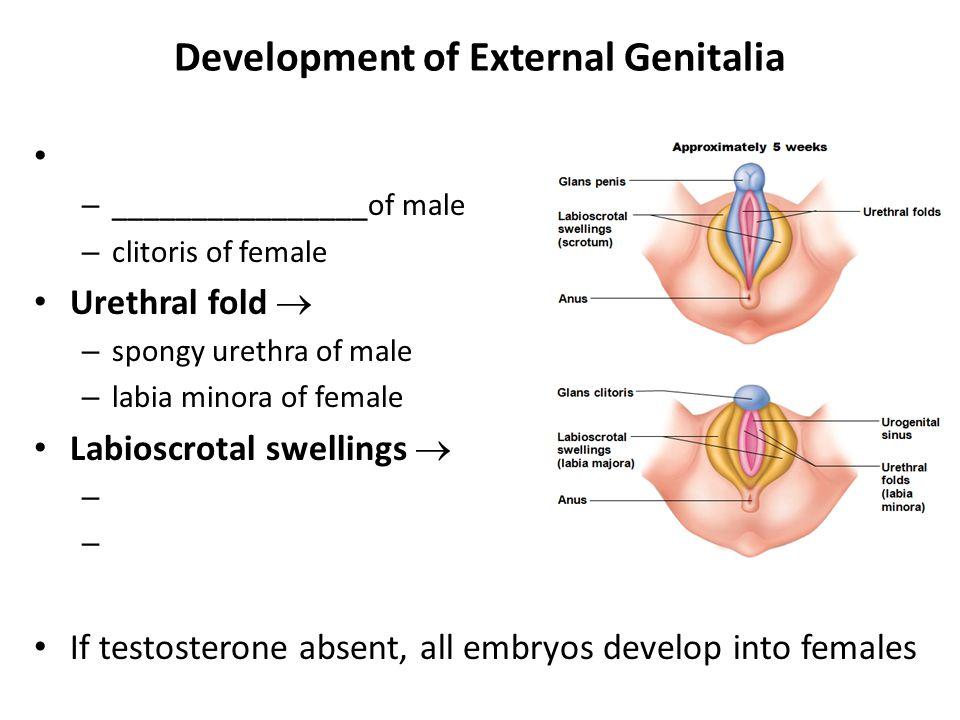 Development of External Genitalia – ________________of male – clitoris of female Urethral fold  – spongy urethra of male – labia minora of female Lab