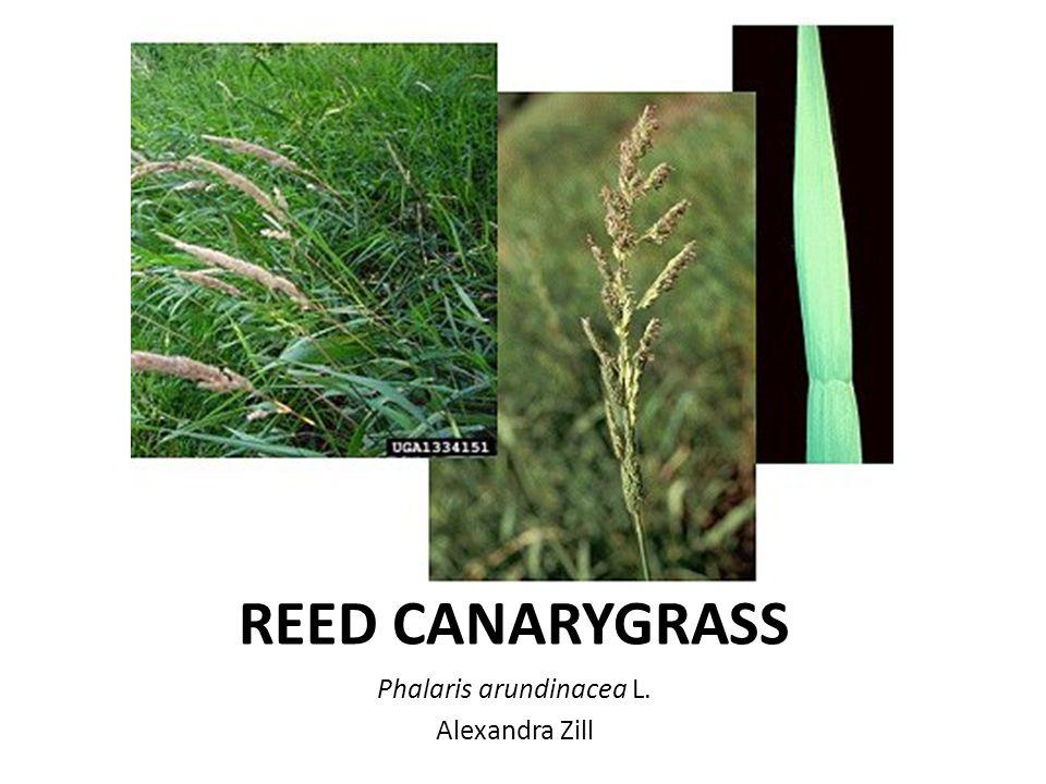 REED CANARYGRASS Phalaris arundinacea L. Alexandra Zill