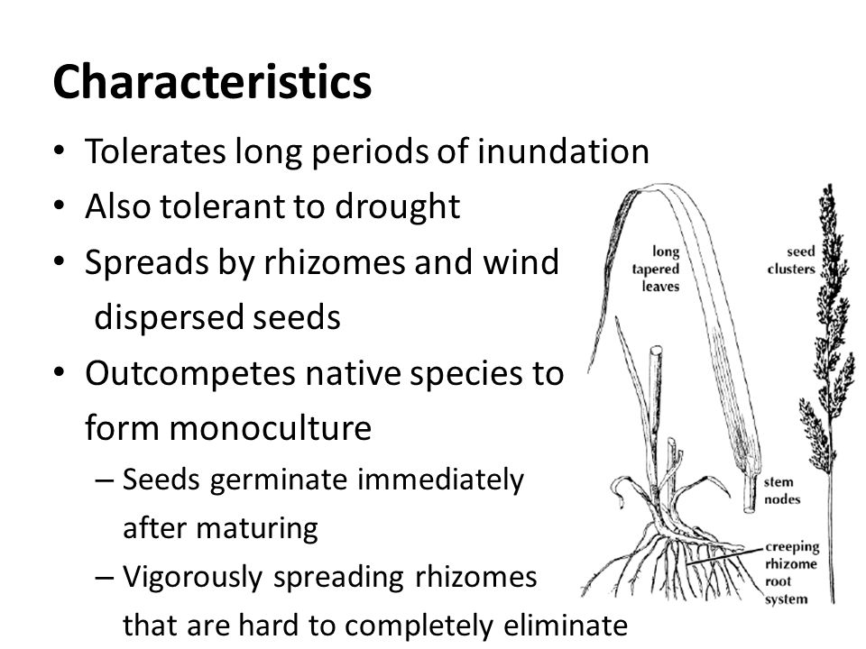 Characteristics Tolerates long periods of inundation Also tolerant to drought Spreads by rhizomes and wind dispersed seeds Outcompetes native species