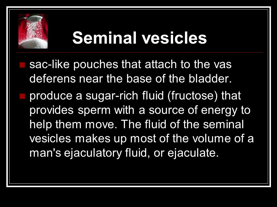 Seminal vesicles sac-like pouches that attach to the vas deferens near the base of the bladder. produce a sugar-rich fluid (fructose) that provides sp