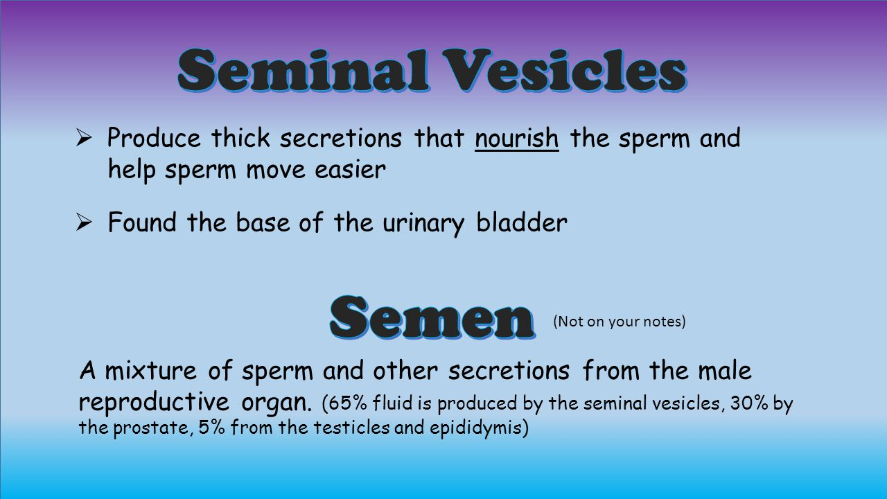  Produce thick secretions that nourish the sperm and help sperm move easier  Found the base of the urinary bladder A mixture of sperm and other secretions from the male reproductive organ.