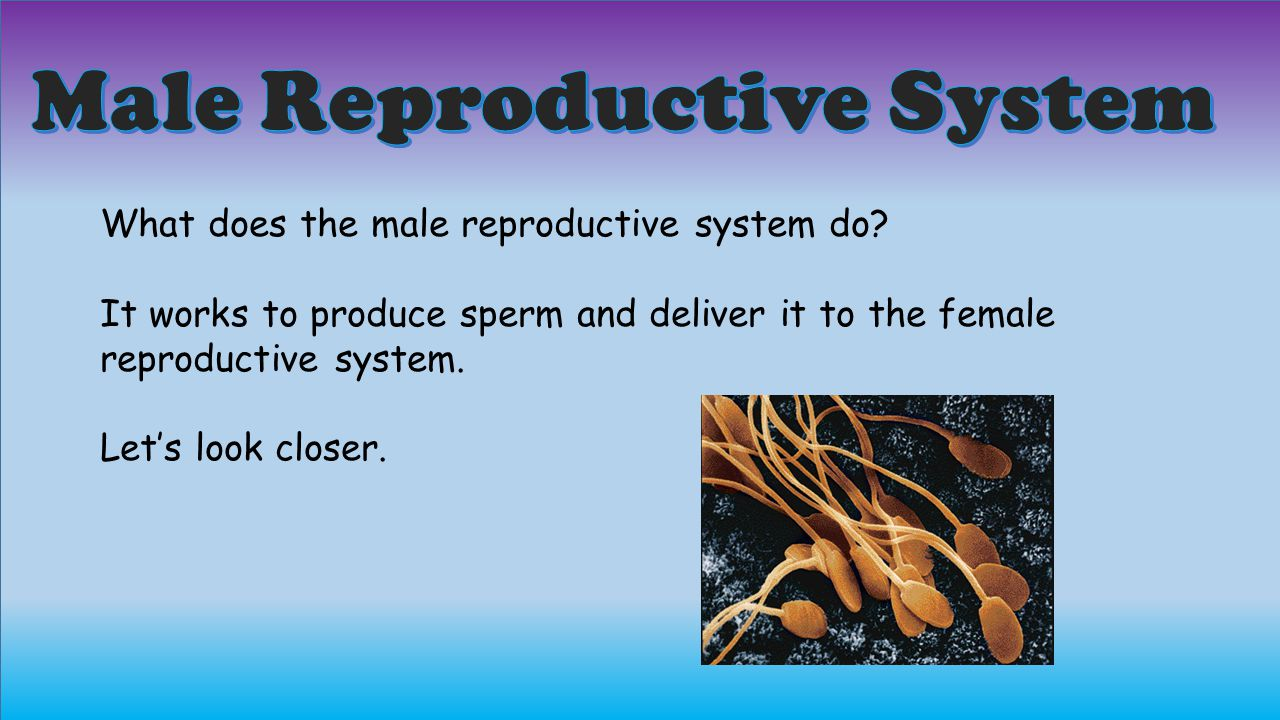 What does the male reproductive system do.