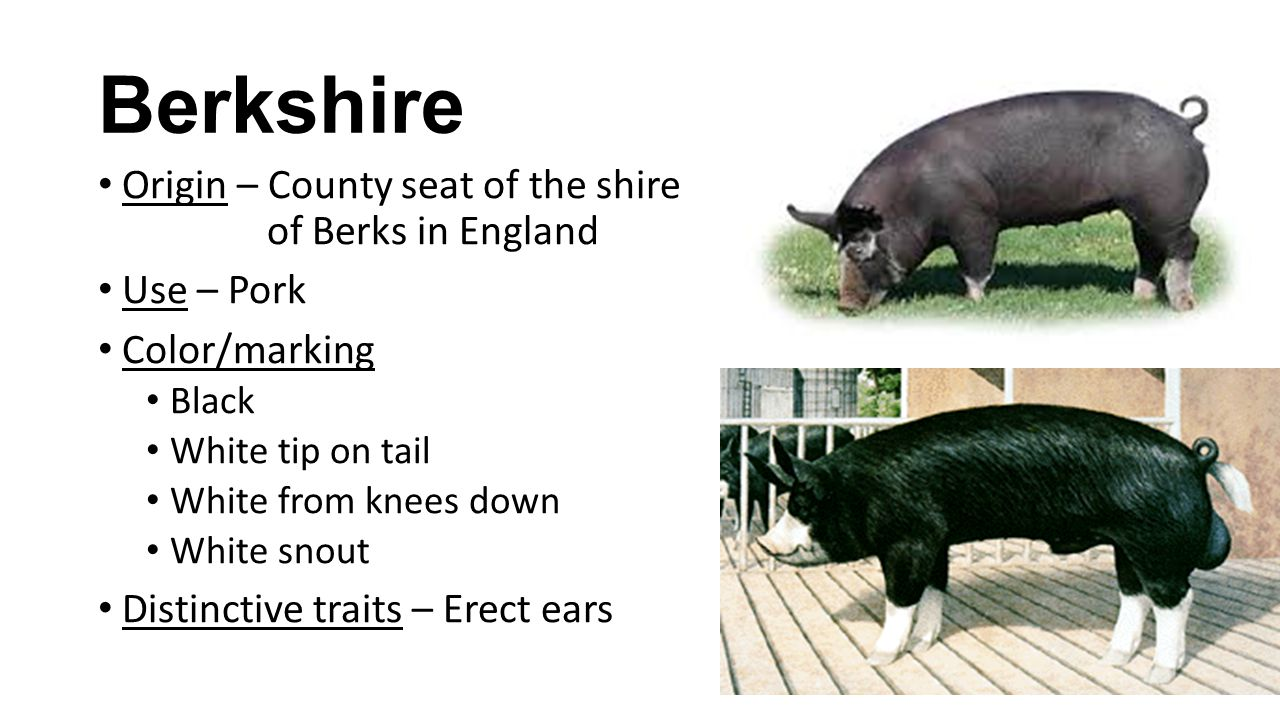 Berkshire Origin – County seat of the shire of Berks in England Use – Pork Color/marking Black White tip on tail White from knees down White snout Distinctive traits – Erect ears