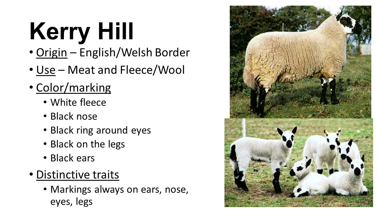 Kerry Hill Origin – English/Welsh Border Use – Meat and Fleece/Wool Color/marking White fleece Black nose Black ring around eyes Black on the legs Black ears Distinctive traits Markings always on ears, nose, eyes, legs