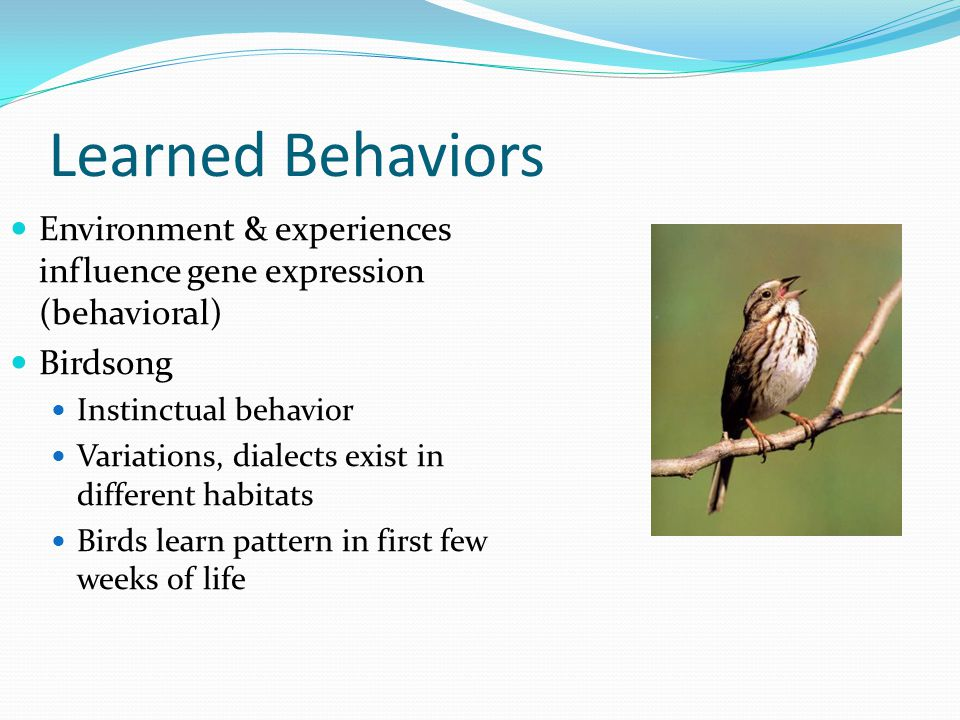 Learned Behaviors Environment & experiences influence gene expression (behavioral) Birdsong Instinctual behavior Variations, dialects exist in different habitats Birds learn pattern in first few weeks of life