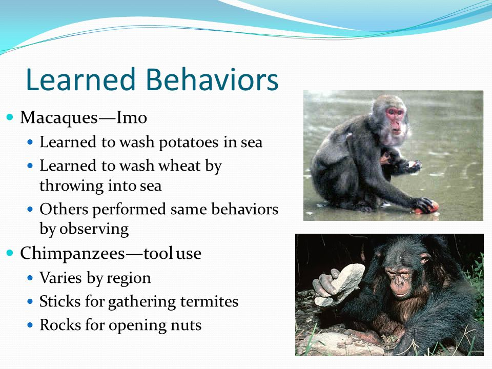Learned Behaviors Macaques—Imo Learned to wash potatoes in sea Learned to wash wheat by throwing into sea Others performed same behaviors by observing